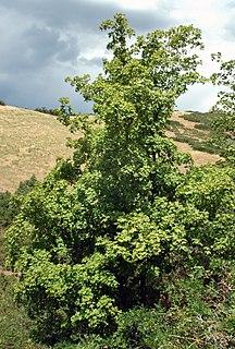 <i>Acer grandidentatum</i> species of plant