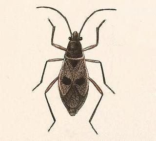<i>Largus bipustulatus</i> Species of true bug
