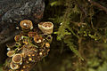 Bird's Nest Fungi (8738303975).jpg