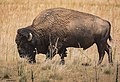 Bison Grazing (7460786534).jpg