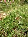 Bistorta officinalis Orikrin 002.jpg
