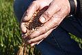 Blé tendre ferme de Pierre Seche 45300 Pannecières (Mr Christian Huttepain)-3-cliche Jean Weber (23974996132).jpg