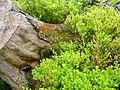 Blühende Heidelbeeren am Großen Falkenstein.jpg