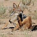Black-backed jackal, Kgalagadi Transfrontier Park (38087875802).jpg
