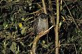 Black-banded Owl.jpg