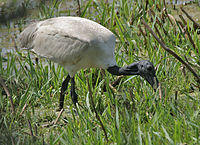 Black-headed Ibis (Threskiornis melanocephalus) at Bharatpur I IMG 5355