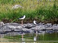 Black-winged Stilt (Himantopus himantopus) (36284124743).jpg