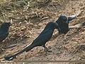 Black Drongo (Dicrurus macrocercus) (32639670580).jpg