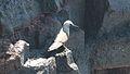 Black Noddy (Anous minutus melanogenys) (26191987460).jpg