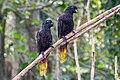 Black lory (Chalcopsitta atra), Gembira Loka Zoo, Yogyakarta 2015-03-15 02.jpg