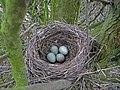 Blackbird Nest 03-04-10 (4487398652).jpg