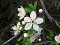 Blackthorn (Prunus spinosa) (4472456667).jpg