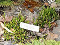 Blechnum penna-marina - University of California Botanical Garden - DSC08898.JPG