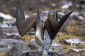 Blue-footed Booby - Galapagos Image15 (15205877438).jpg