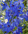 Blue (5842860335).jpg