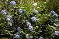 Blue hydrangea in the Woodland Garden at Goodnestone Park Kent England 4.jpg