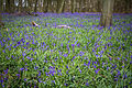 Bluebells, Nuffield Place (7084181015).jpg