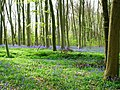 Bluebells at Bottom Wood - geograph.org.uk - 1141968.jpg