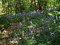 Bluebells in Coleshill Copse - geograph.org.uk - 1323279.jpg