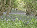 Bluebells in Greyfield Woods - geograph.org.uk - 424514.jpg
