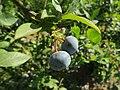 Blueberry bushes (9426753058).jpg