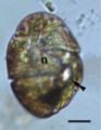 Bmc evol bio hoppenrath Nematodinium ocelloid fig1m.png