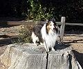 Bodie the Sheltie, Prospect Park, Redlands, CA 12-2011 (6727177011).jpg