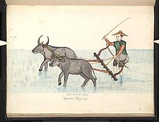 Buffaloes ploughing. Leh-htoon-thee