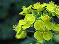 Bokchoy flower.jpg