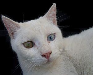 talkoddeyed cat wikipedia
