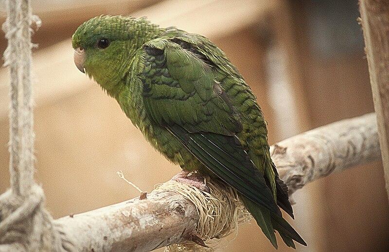 Artikkel: Vööt-mägipapagoi / Bolborhynchus lineola 800px-Bolborhynchus_lineola_-captive-8a