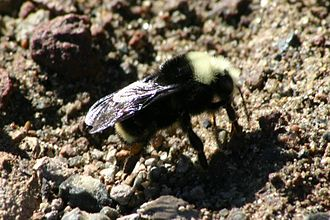 Bombus vosnesenskii - The Yellow-faced bumblebee is a subterranean nester.