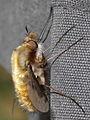 Bombylius major - Large Bee-fly (9770897586).jpg