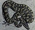 Bonn zoological bulletin - Python sebae.jpg