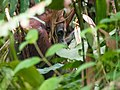 Bornean Orangutan (13997734058).jpg