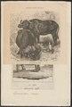 Bos caffer - 1700-1880 - Print - Iconographia Zoologica - Special Collections University of Amsterdam - UBA01 IZ21200165.tif