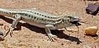 Bosc's fringe-toed lizard (Acanthodactylus boskianus asper) juvenile.jpg
