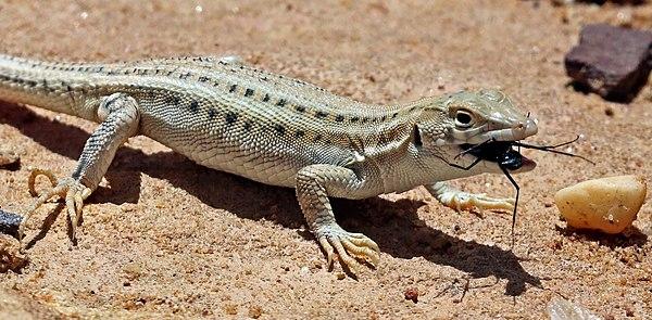 Bosc's fringe-toed lizard (Acanthodactylus boskianus asper) juvenile eating a beetle, Jordan