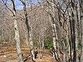 Bosc de Puig Porquer (març 2007) - panoramio.jpg