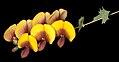 Bossiaea aquifolium - Flickr - Kevin Thiele.jpg