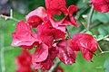 Bougainvillea spectabilis 4zz.jpg
