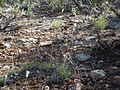 Bouteloua gracilis (6244399270).jpg