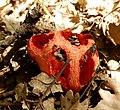 Brachycera on Clathrus ruber mushroom.jpg
