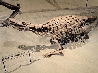 Kaiparowits Formation - Image: Brachychampsa sp. Natural History Museum of Utah DSC07238