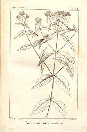 André Michaux - Brachystemum miticum by Pierre-Joseph Redouté from Flora Boreali-Americana