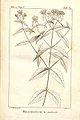 Brachystemum miticum.jpg