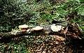Bracket fungi - geograph.org.uk - 2166083.jpg