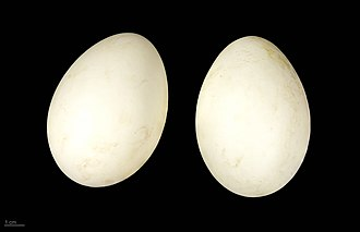Barnacle goose - Branta leucopsis - MHNT