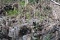 Brassica rapa sylvestris L. (AM AK347554-3).jpg
