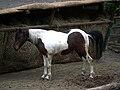 Bretten Tierpark geschecktes Pony.JPG
